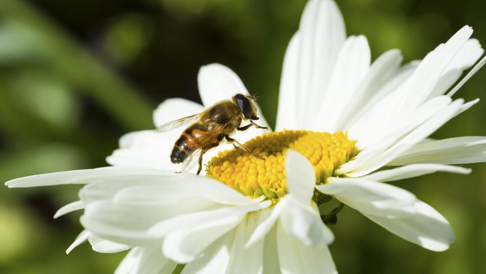 Združeni narodi 20. maj razglasili za svetovni dan čebel